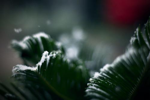 Palm Leaves + Snow