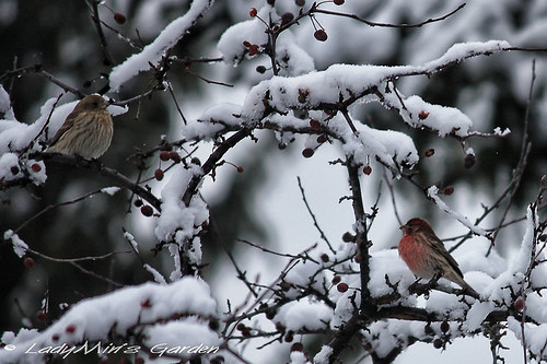 HouseFinch_IMG_3946