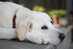 Belle at f/1.8 (Deep Fried Photography) Tags: portrait dog white labrador yellowlab dof belle labradorretriever f18 ef50mm18ii deepfriedphotography