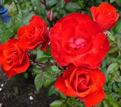 PJs Rose