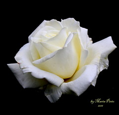 Blanca Rosa (tinica50) Tags: flowers italy macro nature rose sicily taormina whiterose onblack mixedflowers excellentsflowers mimamorflowers awesomeblossoms panoramafotogrfico dragondaggerphoto fleursetpaysages floralaromas spainflickrwinner rosesforeveryone