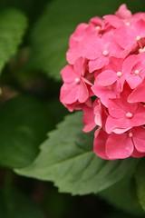 potent pink (jypsygen) Tags: pink summer plant flower macro green dallas spring texas dof purple depthoffield hydrangea hortensia macrophylla