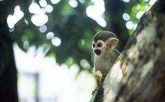The shy one.. (Monkeyland, Punta Cana) (ocarmona) Tags: monkey puntacana fujifilm fuji velvia50 velvia e6 slide dominicanrepublic canon eos eos5 a2e
