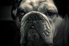 Hank (alan shapiro photography) Tags: nyc summer dog fur friend canine bulldog canonrebel englishbulldog bestfriend companion 2009 digitalcameraclub alanshapiro vosplusbellesphotos ashapiro515 memorycornerportraits canonrebelt1i 2010alanshapiro alanshapirophotography wwwalanwshapiroblogspotcom 2010alanshapirophotography