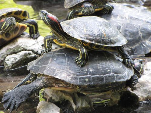Athenian turtles