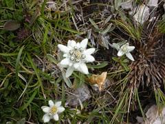 Stella alpina (lalepremarziolina) Tags: dolomiti valgardena floraalpina