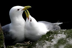 Love nest. (Yorkshire Girl) Tags: birds ornithology birdwatcher potofgold kittiwake thewonderfulworldofbirds slbinteracting