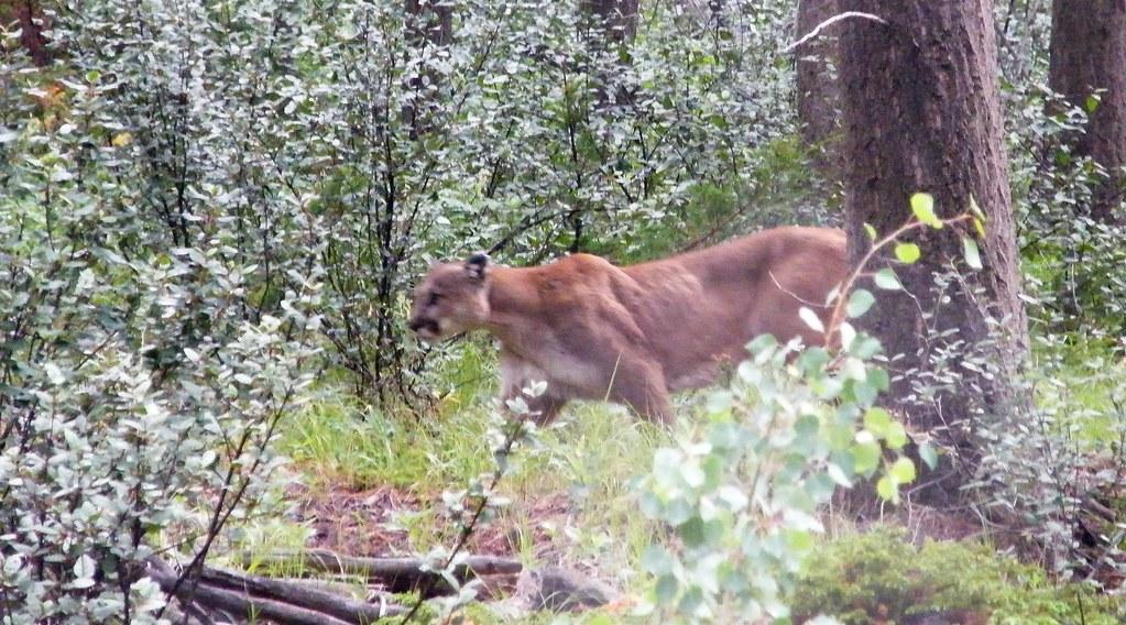 mountain lion (Banff NP)