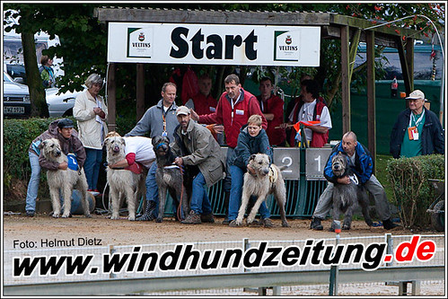 Irish Wolfhounds beim Rennbahn-Start