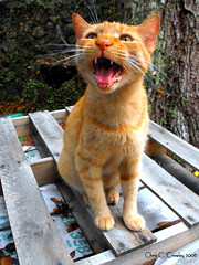 Sing For Your Supper- Explore #167 (Chris C. Crowley) Tags: pet cute cat feline funny priceless explore tigger catscatscats screaming begging funnycats vocalizing madcats sugarmillgardens singforyoursupper milofriends portorangeflorida chriscrowley kittyschoice celticsong22 tiggerthegatekeepersgardenclubhouse catsuluv allcatsallowed
