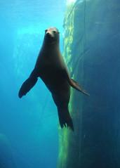 "El Paso Zoo - ""Sushi"" 126 (danimaniacs) Tags: blue green water animal zoo seal elpaso starphoto"