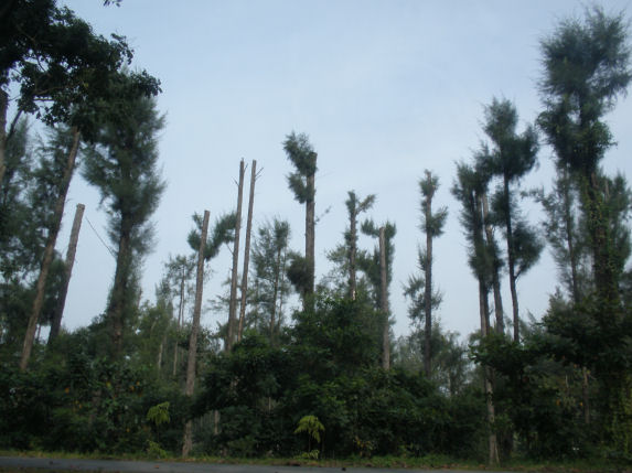 Why did these trees become botak?