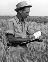 borlaug-wheat