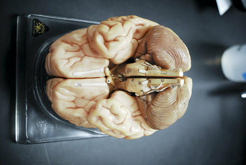 BIO 120 Lab Brain 069 by djneight, on Flickr
