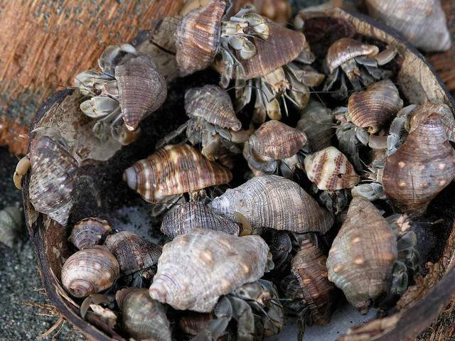 Hermit crabs (Coenobita compressus) eating coconut - Cangrejos comiendo coco; Carate, Penisula de Osa, Puntarenas, Costa Rica