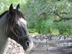 Bucanero da Timbaúba (Felipe.Cunha) Tags: brasil criollo caballo altas rs cavalo pedras crioulo pedrasaltas cavalocrioulo caballocriollo