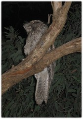 2312_frogmouth