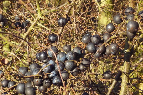 sloes Blackthorn