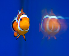Nemo and his reflection (San Diego Shooter) Tags: nemo sandiego findingnemo birchaquarium