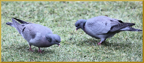 Stock Doves in the Rain
