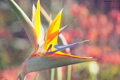 God could not be everywhere and therefore he made mothers (pixelmama) Tags: california flower paradise joy bigsur birdofparadise  strelitzia hss happymothersday formymother craneflower forcarol  forallmothers pollinatedbysunbirds forviola godcouldnotbeeverywhereandthereforehemademothers sliderssunday ilovethatfact