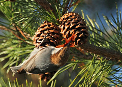 Brown-headed Nuthatch - explored!  thank you! (hennessy.barb) Tags: nuthatch brownheadednuthatch sittapusilla bird pinecones