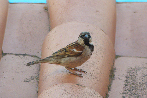 20160610 001 Hotel Zodiaco, Quarteira. House Sparrow, Passer domesticus