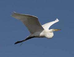 Great Egret Flyby (das_miller) Tags: wetlands egret greategret bolsachica vogonpoetry slbflying