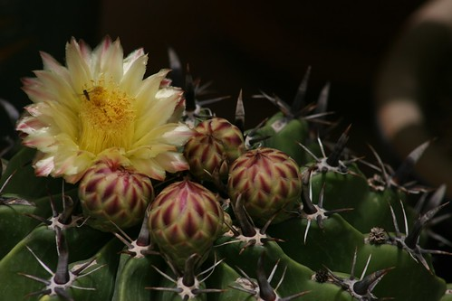 Cactus flower (Ferocactus latispinus - Devil's Tongue Barrel)