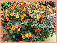 Impatiens walleriana shrub with bicoloured blooms in yellow and orange