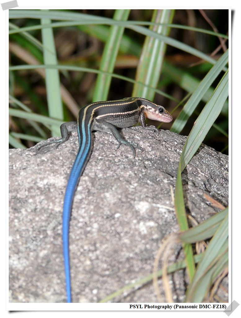 Elegant five-lined Skink (Eumeces elegans) - 麗紋石龍子
