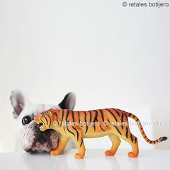 chula y el tigre (retales botijero) Tags: pet puppy french toy bulldog frances tigre bf chula juguete francs jaguara retales thelittledoglaughed botijero
