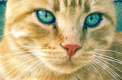 Cristal Eyes (susy ) Tags: blue italy macro nature animal cat lumix eyes natura panasonic occhi gatto animali azzurri peloso animalidomestici domesticalanimal