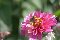 Parc Floral - Vincennes-71 (MissDogo) Tags: paris macro fleur closeup animaux parc insectes vincennes parcfloral bourdon proxyphoto hym hyménoptères hymnoptres