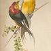 Clip Art - Mannikin Birds