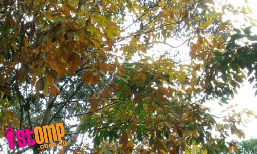 Yellow poplar trees add colour to Bt Batok Nature Park