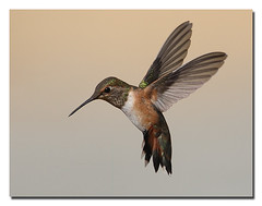 Rufous Hummingbird  L. Selman (lselman) Tags: bird nature port flight wing ridgecrest rufoushummingbird naturesfinest selman specanimal specanimalphotooftheday colorphotoaward avianexcellence naturethroughthelens vosplusbellesphotos birdperfect