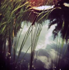 Summer Memories - Reed (Jens J. Hoffmann) Tags: 6x6 film reed analog xpro crossprocessed mood diana dianaf fujirms
