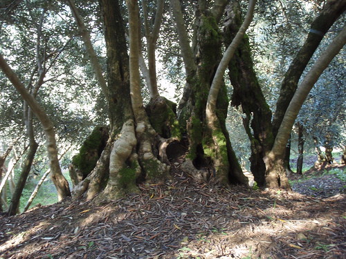 Never seen olive trees formed in such incredible way