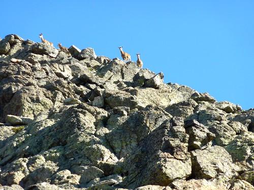 Au col d'éboulis de l'arête S de la Punta Minuta : mouflons femelles sur l'arête