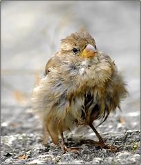 Jeune moineau secouant ses plumes (jd.echenard) Tags: animal oiseau plumes moineau spatz gmt embrujo naturesfinest supershot avianexcellence natureselegantshots saariysqualitypictures platinumpeaceaward
