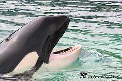 Freya v11 020909 (valentin666) Tags: killer whale orca 2009 antibes marineland freya orque