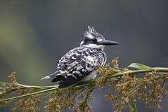 Uganda, Lake Bunyoni (richard.mcmanus.) Tags: africa bird kingfisher uganda mcmanus birdwatcher doubledragon birdlovers birdsbirdsbirds thosebirds abigfave allof naturalexcellence naturescreations natureslovely gardenparadise gpsetest