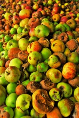 fresh cooked applesauce....... (Stephi 2006) Tags: autumn red brown green apple hdr applesauce windfall photomatix pentaxk10d smcpda1645mmf40edal