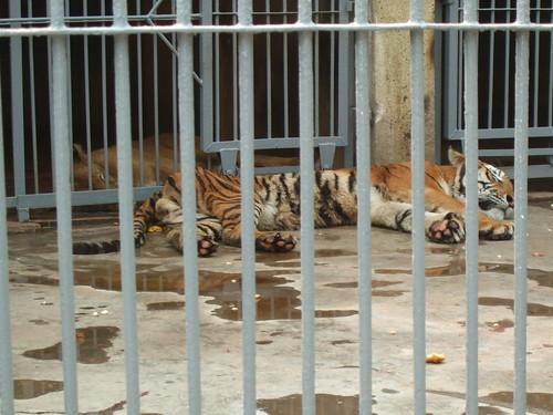 老虎 狮子