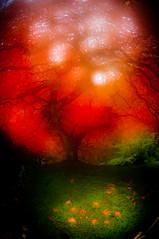false fog and flames (Candice Pdx) Tags: tree fall colors oregon garden that portland fisheye foliage handheld portlandjapanesegarden thattree 105mmfisheyelens webfriendly d300s laceleafmaples