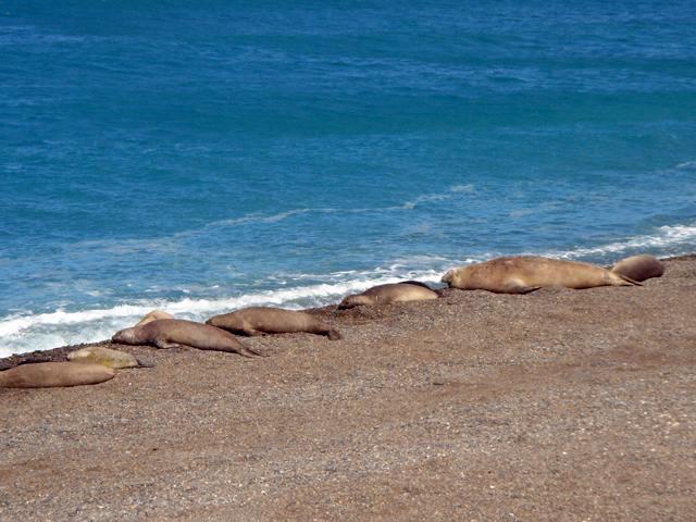 Elephant seals in Península Valdés