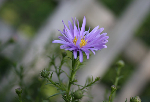 First new york aster blooms 2