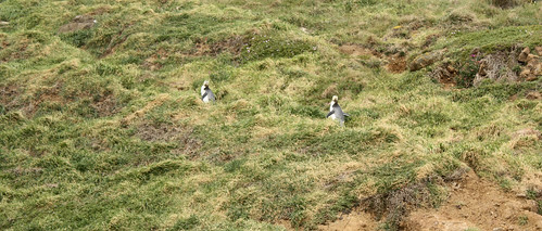 Penguins at Sandfly Bay