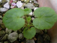 ゼラニウム(Geranium)実生